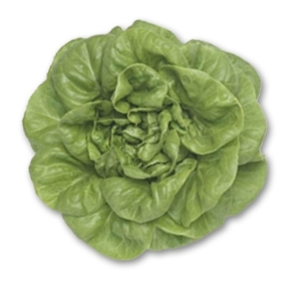 Picture of 'Elton' lettuce pelleted untreated