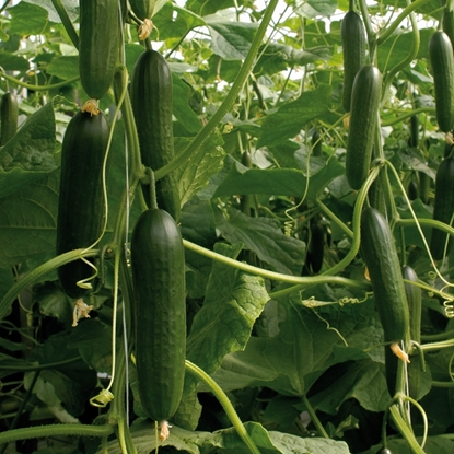 Picture of 'Socrates' organic cucumber