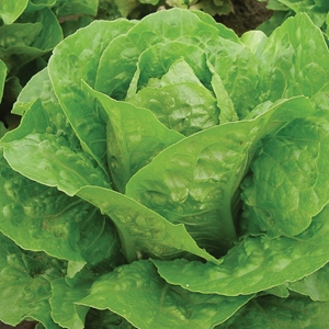 Picture for category Romaine