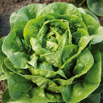 Picture of 'Dragoon' organic lettuce pelleted