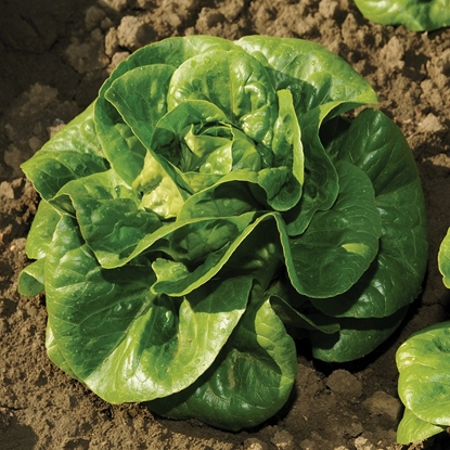 Picture of 'Newham' organic lettuce pelleted