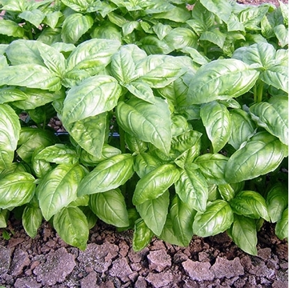 Picture of 'Dolly' organic basil