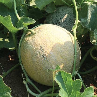 Picture of 'Divergent' organic speciality cantaloupe