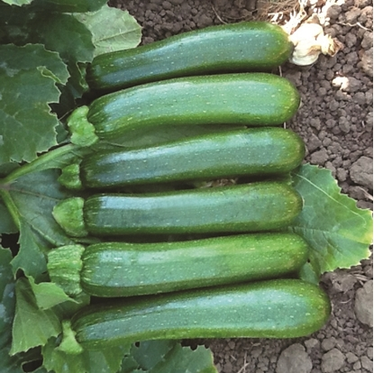 Image de Courgette 'Green Machine' biologique