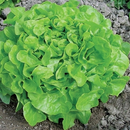 Picture of 'Encino' organic lettuce pelleted DISCONTINUED