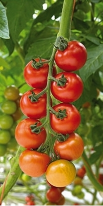 Picture of 'Annamay' organic tomato seeds
