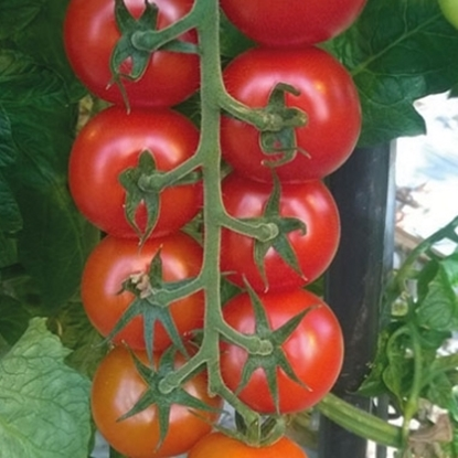 Picture of 'Annaisa' (E15T.40414) tomato untreated