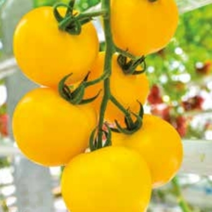 Picture of 'Mimosa' ('DJ129') tomato untreated
