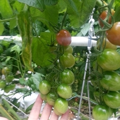 Picture of '662' tomato untreated